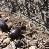 HUGE beetles in the desert.